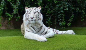Lázár Ervin: A fehér tigris – könyvajánló
