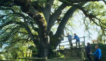 Lecina ezeréves magyaltölgye lett az európai év fája!