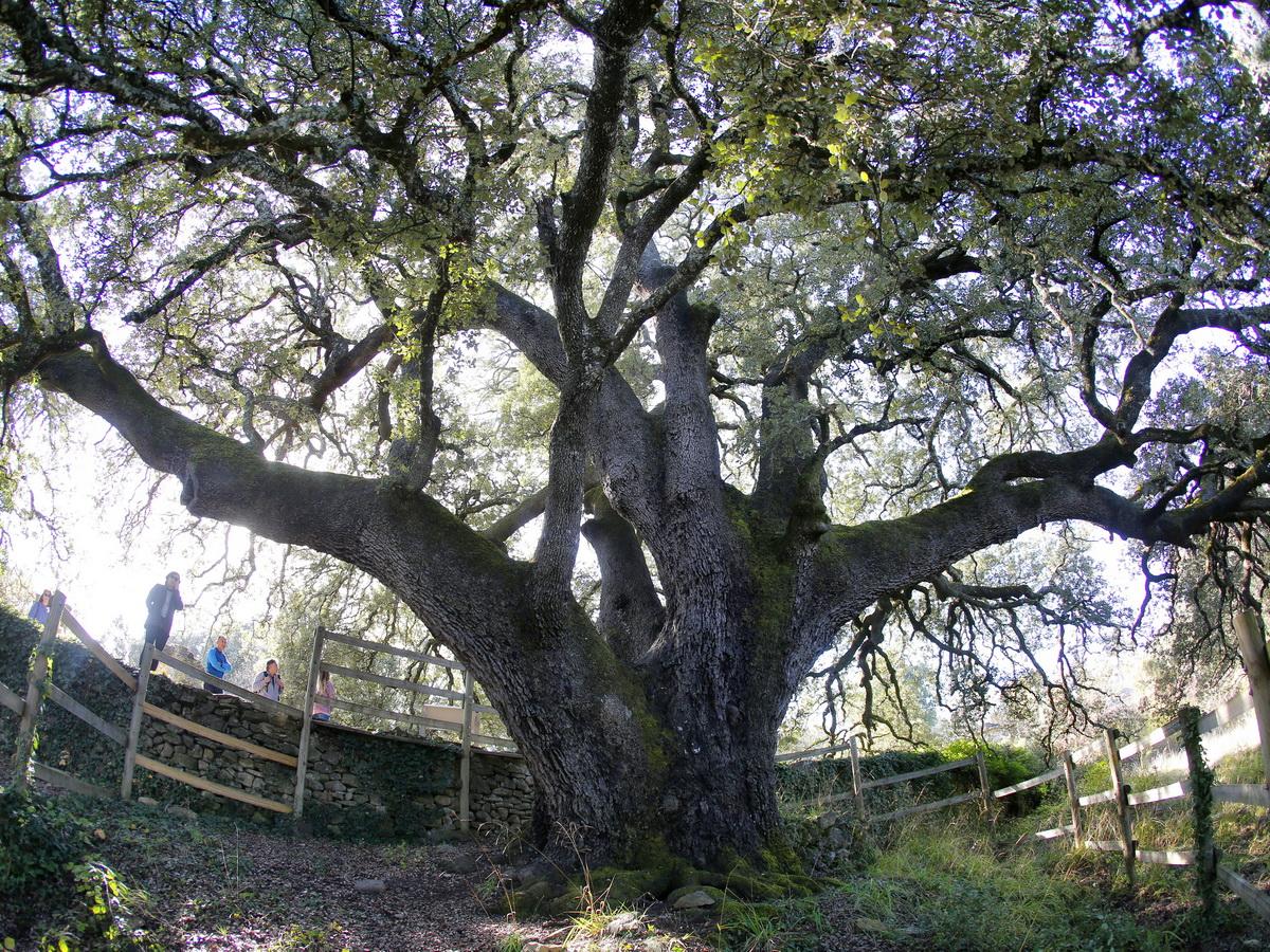 www.treeoftheyear.org-Lecina ezeréves magyaltölgye