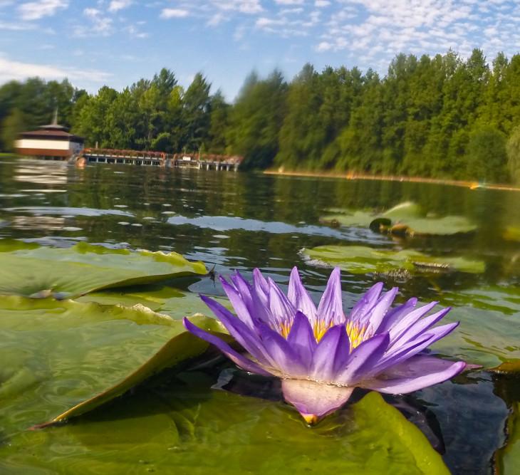 Nyírő Péter-Tavirózsa a Hévízi-tóban